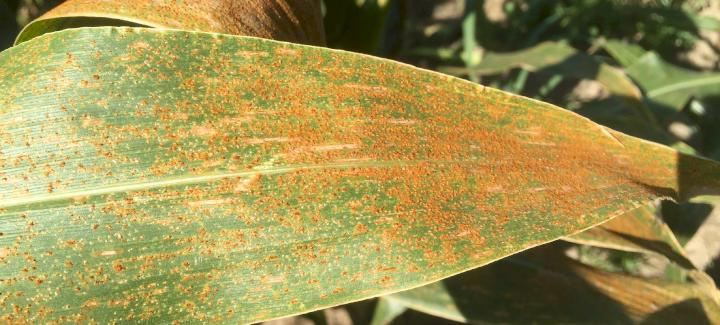Scout for Southern Rust on Corn Plants